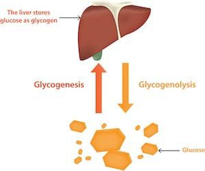 Difference Between Glycogenolysis and Glycogenesis